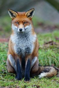 Red fox, still not dancing. Image by Peter Trimming, licensed under Creative Commons 2.0